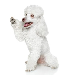 Toy Poodle gives that a paw on white background