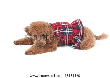 Toy poodle in red checkered dress skirt