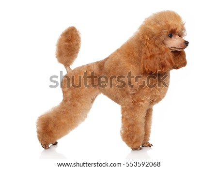 Toy poodle in stand on white background