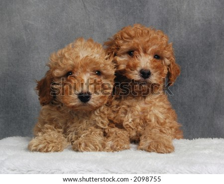 Poodle Puppies on Toy Poodle Puppies Stock Photo 2098755   Shutterstock