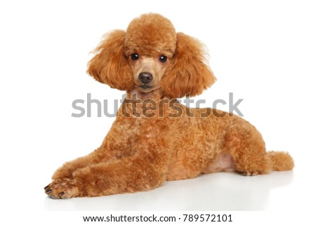 Toy poodle puppy graceful lying down on a white background - Shutterstock ID 789572101