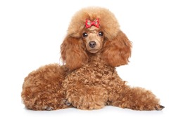 Toy poodle puppy with red bow lying on a white background