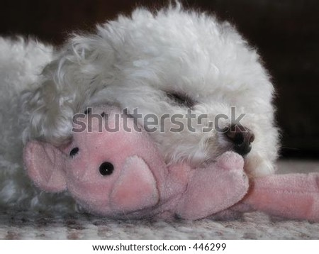 toy poodle sleeping with stuffed pig