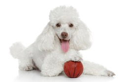 Toy poodle with ball on a white background