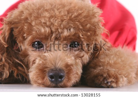 Poodle Puppies on Toy Poodle With Puppy Cut In Large Red T Shirt Stock Photo 13028155