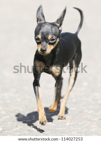 Toy terrier dog outdoors walking over gray background