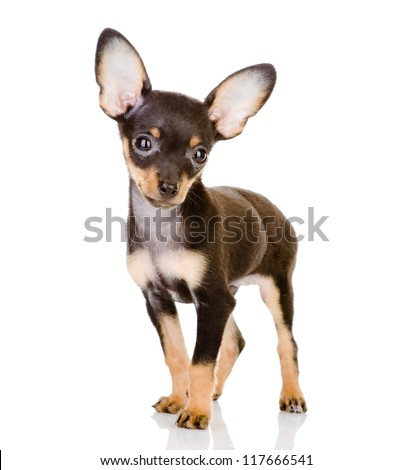 Toy Terrier looking at camera. isolated on white background