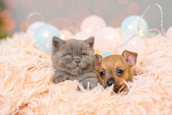 Toy terrier puppy and fluffy kitten sleep in a fluffy blanket