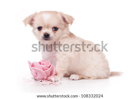 toy terrier puppy isolated on white background