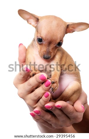 toy terrier puppy on hand isolated on white