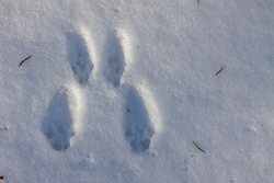Traces of a hare in the snow.