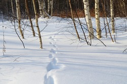 Traces of a wild animal or hare in a deep snowdrift in the forest, snow, winter, frost