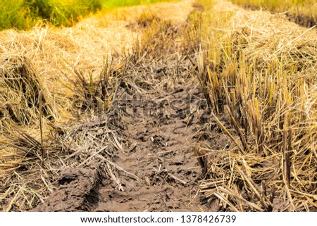 Traces of harvesters on the mud and rice stubble. After the harvest is complete. #1378426739