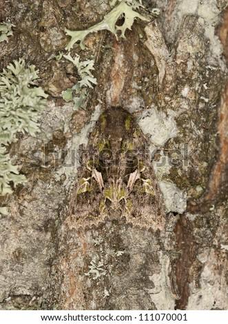 Trachea atriplicis camouflaged on oak, macro photo