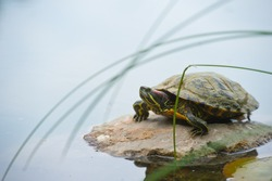 Trachemys scripta on pond. Turtles,decorative turtle - Trachemys scripta elegans