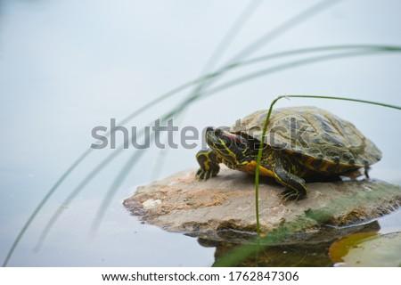 Trachemys scripta on pond. Turtles,decorative turtle - Trachemys scripta elegans Stock fotó ©