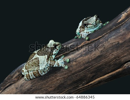 Trachycephalus resinifictrix - stock photo