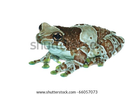 Trachycephalus resinifictrix (Harlequin frog) on a white background.