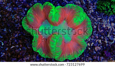 Trachyphyllia coral (open brain lps) #723127699