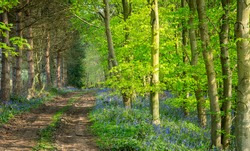 Track Through English Bluebell Wood