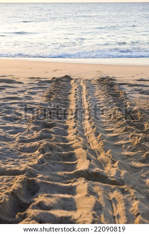 Tracks of the endangered Green Back sea turtle heading back into the sea after laying eggs on a protected beach in Ras Al Junayz, Oman. Taken in the very early morning sun. - stock photo