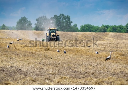 Tractor cultivating the field after harvesting with storks around