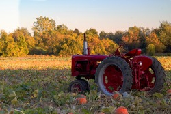 Tractor in a field of pumpkin in the Fall