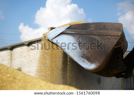 Tractor loads grain with a large bucket in a pile, drying wheat on a farm in the open air. #1561760098