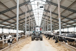 Tractor moving along aisle between two long cowsheds inside large contemporary dairy farm
