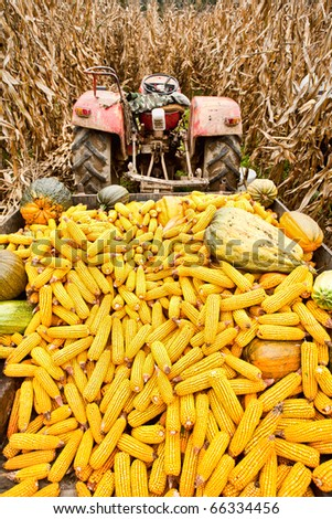 Tractor with a trailer full of corn cobs in a corn field