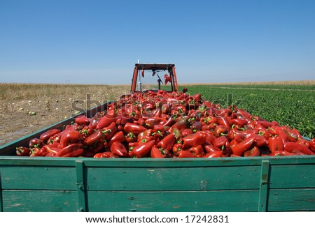 Tractor with heap of paprika after harvest