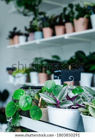 Tradescantia zebrina and pilea in a plant store Zdjęcia stock ©