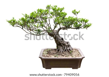 traditional bonsai tree isolated on white