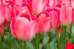 Traditional Dutch deep bright red tulips in Keukenhof park flower gardens