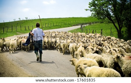 Traditional farming. Shepherd and sheep herd