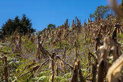 Traditional field of corn in Honduras, where plat is broken to accelerate the drying of cobs