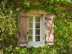 Traditional French farmhouse window with old shabby shutters surrounded by Virginia creeper and Honeysuckle