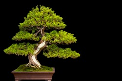 Traditional japanese bonsai miniature tree in a ceramic pot isolated on a black background.