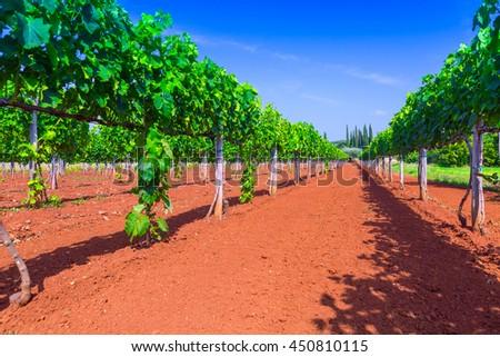 Traditional Mediterranean vineyards
