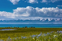 Traditional pasture in the high mountains. A herd of cows is grazing on the shore of a mountain lake. Fields covered with flowers and green juicy grass. Kyrgyzstan. Song Kol Lake