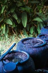 Traditional process of making indigo dye, Indigo plant fermentation in clay pot