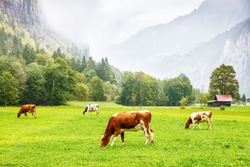 Traditional Swiss cows grazing green grass on meadow pasture in valley of Lauterbrunnen Alpine village. Livestock on pasture. Bio dairy production in Switzerland. Traditional Swiss rural scenery.