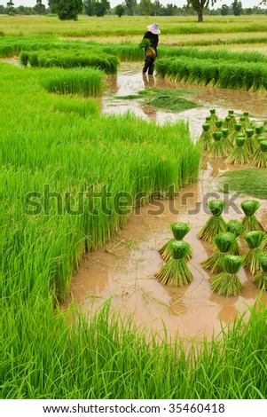 Traditional Thai style rice growth
