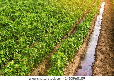 Traditional watering pepper plantations. Farming and agriculture. Cultivation, care and harvesting. Saving irrigation water in arid regions. Beautiful farm field. Grow agricultural products for sale