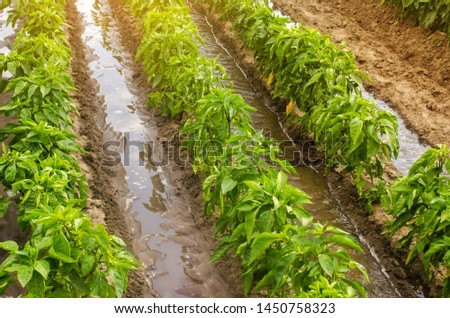 Traditional watering pepper plantations. Farming and agriculture. Watering and caring for plants, fertilizer, cultivation. Saving irrigation water in arid regions. Beautiful farm field #1450758323