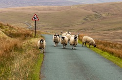 Traffic jam on a  Easter Bank Holiday in Swaledale, Yorkshire Dales, UK.  A flock of Swaledale Ewes heading up the road towards Tan Hill.  Horizontal.  Space for copy.  No people