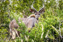Tragelaphus strepsiceros (kudu) Photographed in South Africa.