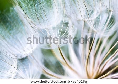 Tragopogon pseudomajor S. Nikit. Dandelion seeds, photo close up - Shutterstock ID 575845186