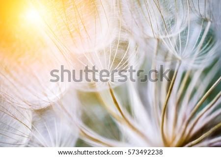 Tragopogon pseudomajor S. Nikit. Dandelion seeds, photo close up. Bright sunlight - Shutterstock ID 573492238
