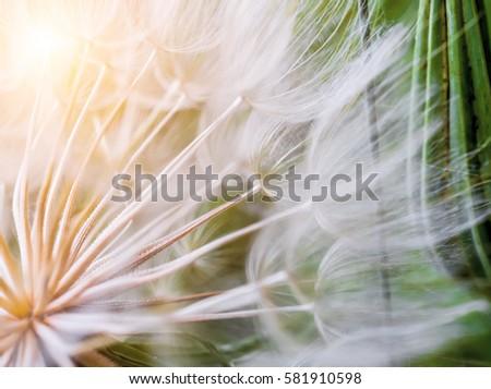 Tragopogon pseudomajor S. Nikit. Dandelion seeds, photo close up. Bright sunlight - Shutterstock ID 581910598